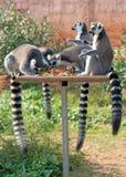 Ring-tailed Lemurs stockfotos