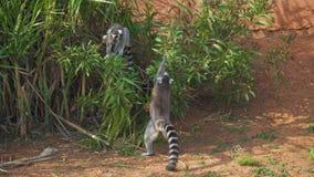Ring-tailed Lemurs stock video