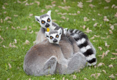 Ring-tailed lemurs. Curious ring-tailed lemurs huddle together Royalty Free Stock Image