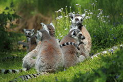 Ring-tailed lemurs Royaltyfri Foto