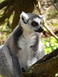 Ring-Tailed Lemurs. At the Aqua Zoo (The Netherlands) Taken in 2013 Royalty Free Stock Photos