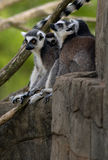 Ring Tailed Lemurs Royaltyfri Bild