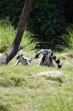 Ring-tailed Lemurs   Royaltyfri Fotografi