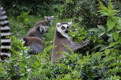 Ring tailed lemurs Arkivbild
