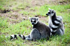Ring tailed lemurs Arkivfoton
