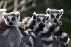 Free Ring Tailed Lemurs Royalty Free Stock Image - 5957556