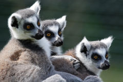 Free Ring Tailed Lemurs Stock Images - 5957624