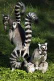 Ring-tailed Lemurs lizenzfreie stockfotos