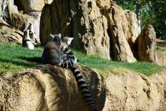 Ring-tailed Lemurs Stockbild
