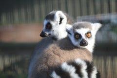 Ring-tailed Lemurs lizenzfreies stockbild