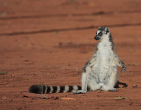 Ring Tailed Lemurs At Berenty Reserve Royalty Free Stock Photos