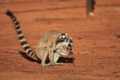 Ring Tailed Lemurs at Berenty Reserve Stock Image