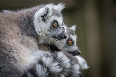 Ring tailed lemurs. Close up of two ring tailed lemurs looking towards the right in side profile and staring inquisitively Royalty Free Stock Images