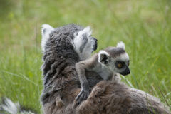 Ring-tailed Lemurs Royalty Free Stock Photography