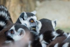 Ring-Tailed Lemurs closeup portrait, a large gray primate with golden eyes. Flock of animals, mammal, cute, catta, madagascar, africa, nature, black, furry stock image