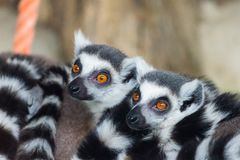 Ring-Tailed Lemurs closeup portrait, a large gray primate with golden eyes. Flock of animals, mammal, cute, catta, madagascar, africa, nature, black, furry stock photography