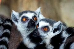 Ring-Tailed Lemurs closeup portrait, a large gray primate with golden eyes. Flock of animals, mammal, cute, catta, madagascar, africa, nature, black, furry royalty free stock image