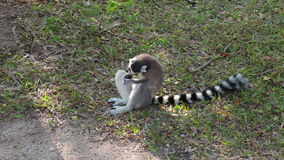 Ring-tailed Lemurs eating on ground and looking around. Ring-tailed Lemurs eating on ground and  looking around stock footage