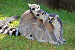 Ring-tailed lemurs. A family of ring-tailed lemurs (Lemur catta), Madagascar Royalty Free Stock Photography