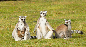Ring-tailed lemurs family Stock Images