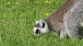 Ring-tailed lemurs foraging stock footage