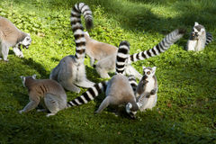 Ring-tailed Lemurs Stock Images