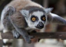 Ring-tailed lemurs i en zoologisk park Royaltyfria Foton