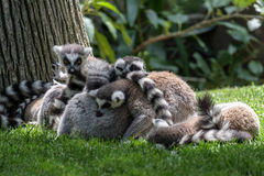 Free Ring-tailed Lemurs (Lemur Catta) Stock Photos - 72863313