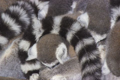 Ring-tailed lemurs Stock Image