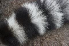 Ring-tailed lemurs Stock Photos