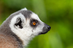 Ring-tailed lemurs (Lemur catta) close-up Royalty Free Stock Image