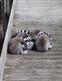 Ring-tailed lemurs (Lemur catta) Stock Photo