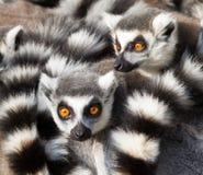 Ring-tailed Lemurs (Lemur catta) huddle zusammen Lizenzfreie Stockbilder