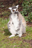 Ring-tailed lemurs (Lemur catta) jumping Stock Photo