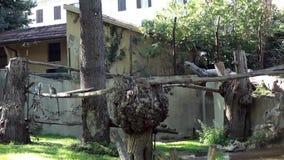 Ring-Tailed Lemurs (Lemur Catta) Playing Stock Photo