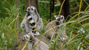 Ring-tailed lemurs / Lemur catta sitting on rocks among foliage, looking alert. royalty free stock photo