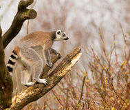 Ring-tailed lemurs (Lemur catta) in a tree Royalty Free Stock Photo
