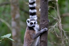Ring-tailed lemurs in South Africa. Ring-tailed lemurs Lemur catta between trees in South Africa Royalty Free Stock Images