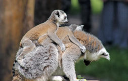Ring tailed lemurs Royalty Free Stock Photo