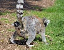 Ring tailed lemurs Royalty Free Stock Image