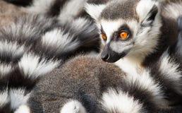 Ring-tailed lemurs (Lemurcatta) kurar tillsammans Arkivfoto