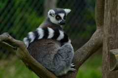 ring tailed lemurs, lemuridea, lemur catta sitting watchfully on a branch in a zoo park Stock Photography