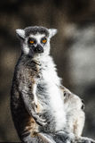 Ring-tailed Lemurs of Madagascar. The ring-tailed lemur (Lemur Catta) is a large Strepsirrhine primate and the most recognized lemur due to its long, black and Royalty Free Stock Photos