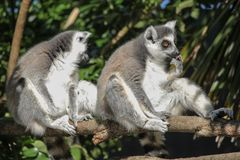 Ring tailed lemurs with orange eyes one licking its hand the other one turning away royalty free stock photos