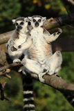 Ring-Tailed Lemurs Royalty Free Stock Photos