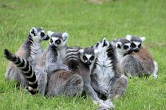 Ring tailed Lemurs. Stock Photos