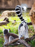 Ring-Tailed Lemurs Playing. Two ring-tailed lemurs playing in a natural setting Royalty Free Stock Photography