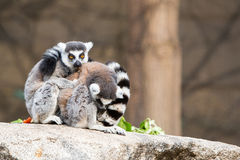 Ring-tailed Lemurs. Sit on the ground and look around Stock Image