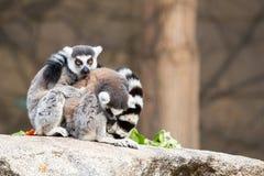 Ring-tailed Lemurs Stock Image