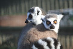 Ring-Tailed Lemurs. Sitting together Royalty Free Stock Image